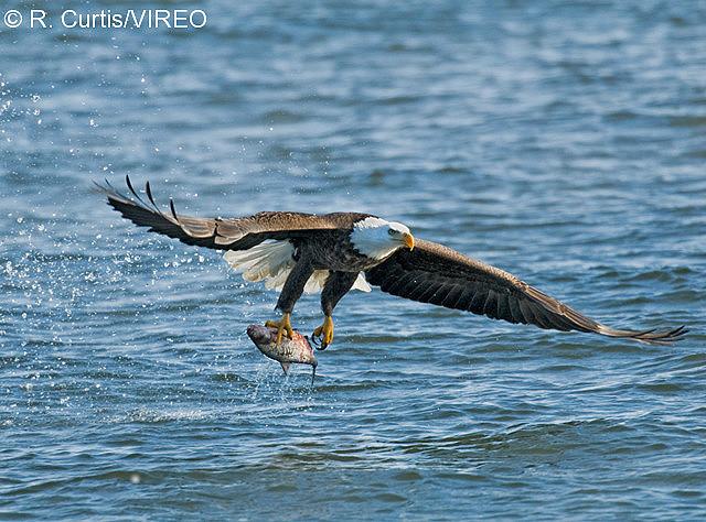 fish-eating birds