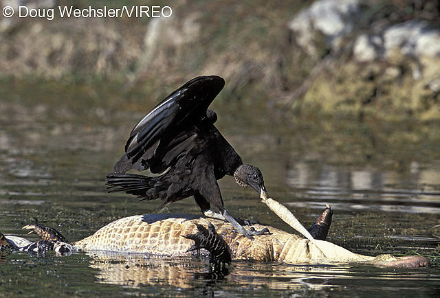 Reptile Eating Birds