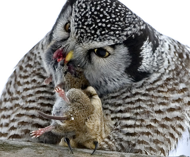 What do birds eat for Do owls eat fish