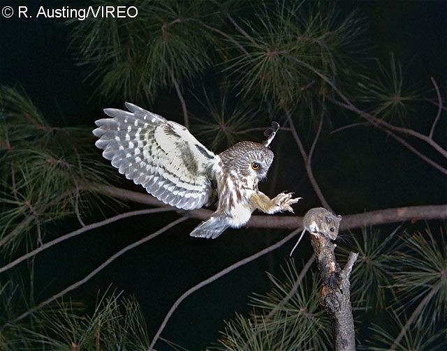 Barn Owl Taking Off Northern Saw-whet Owl ...