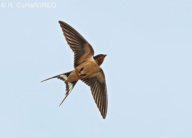 description aerial flying birds - photo #43