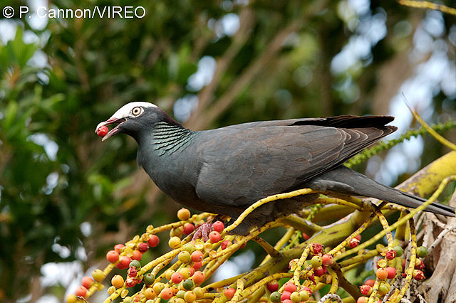 White crowned pigeon - photo#46