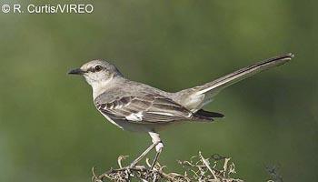 Northern Mockingbird c...