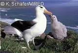 Black-browed Albatross s66-2-004 by photographer Kevin Schafer