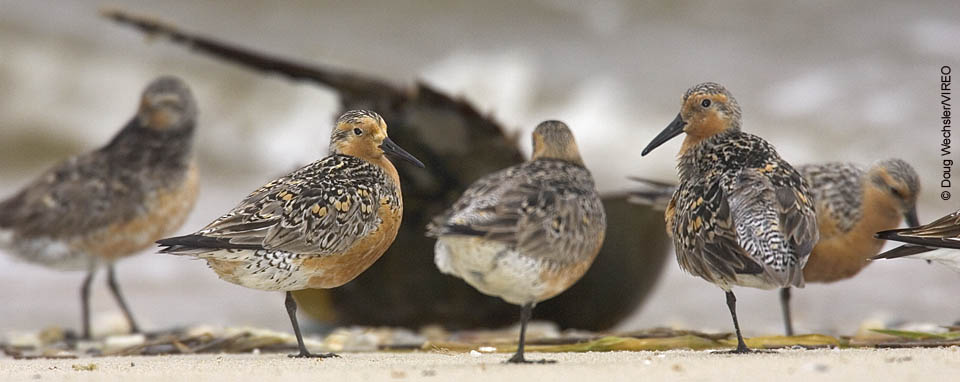 Red Knot © Doug Wechsler/VIREO